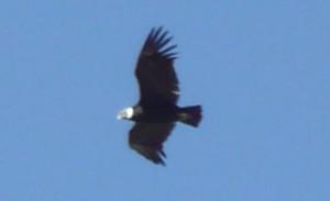 611-Le-Condor-symbole-des-Andes-300x183